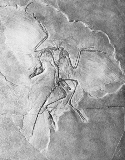 Археоптерикс Archaeopteryx Siemensii, фото 1877 г.