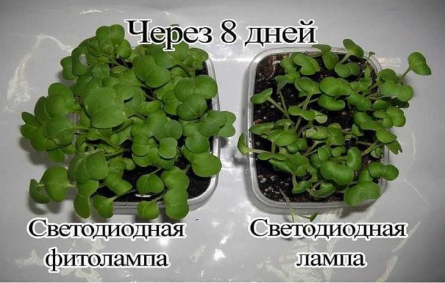 Светодиодная фитолампа значительно эффективней для роста растений, чем обычная LED