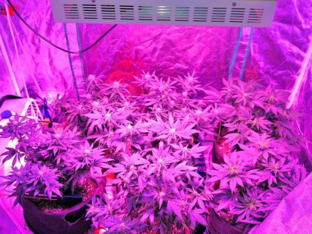 Так выглядят растения, подсвеченные одной из специальных ламп розового цвета