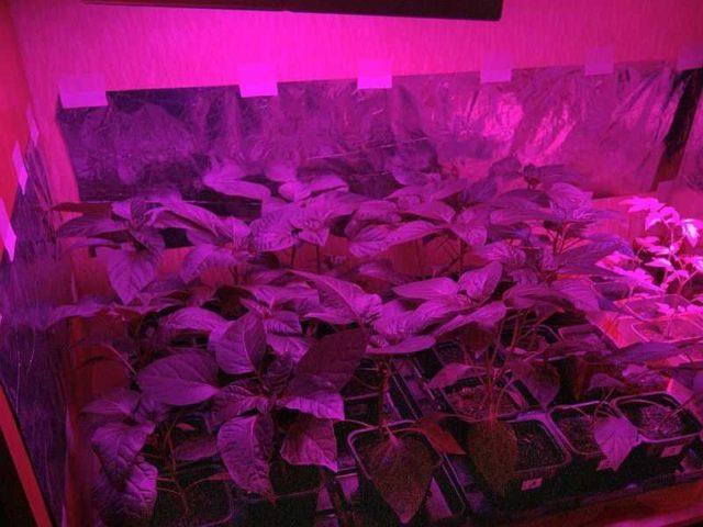 Синий или красный свет - для более активного роста растений